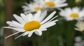 pyrethrum-4284243_1920